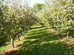 Beautiful mature apple orchard, fully fenced.  Victoria British Columbia on Vancouver Island